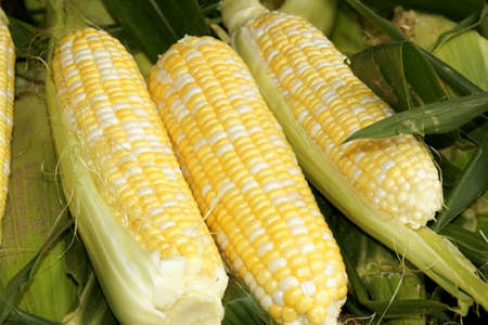 Corn cobs over green leaves for sale at a fruit and vegetables open market Stock Photo