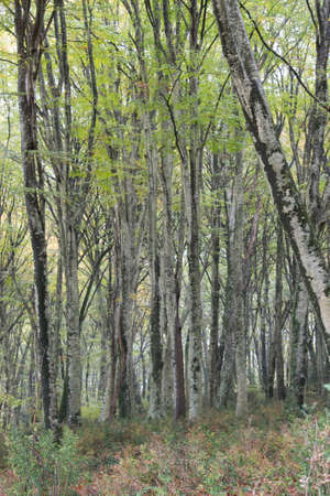 Birch trees in the forest of Manziana