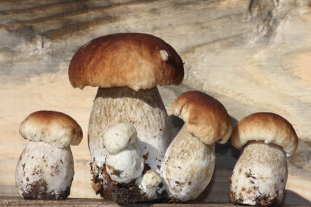 bolete: mushrooms - king bolete family Stock Photo