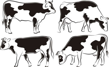 cattle grazing: cow and bull - grazing and walking cattle