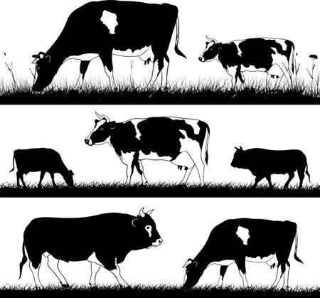 cattle grazing: cows and bulls in the meadow