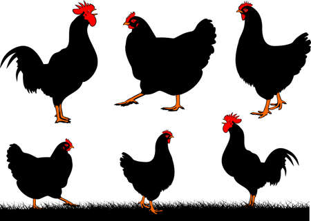 crowing: chickens - hen and rooster