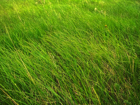 hight green grass, swaying by wind