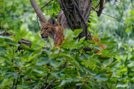 lince rojo: Lince eurasiático que sube en un árbol ocultado entre las hojas