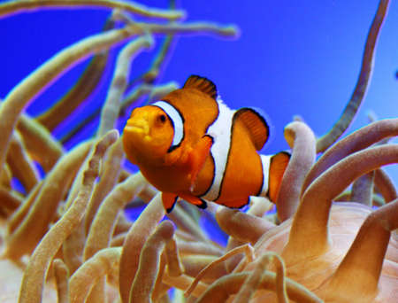 Clown fish Stock Photo - 8076230