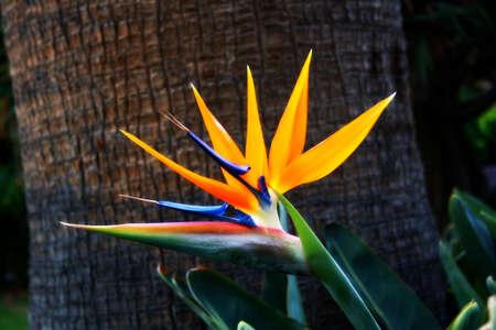 bird of paradise flower: Paradise flower