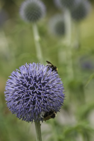 flowerhead: 2 bees on a Blue Alium Flowerhead in gardens