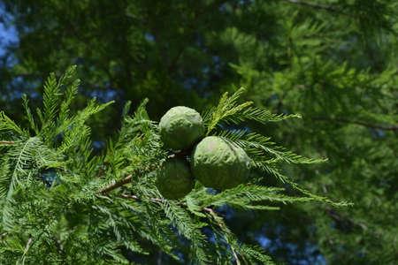 Tree Seeds Stock Photo