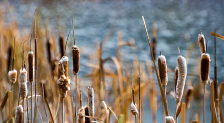 Bulrushes in the pond.