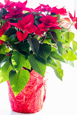 Close up of a poinsettia plant.