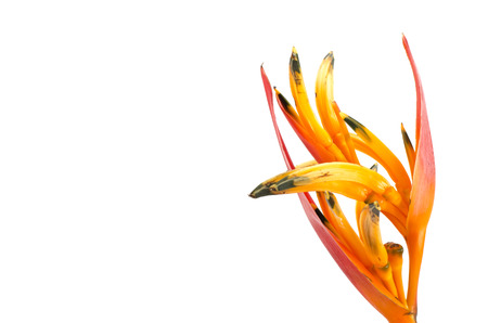 heliconia: Tropical heliconia flower (Heliconia stricta) on white  background Stock Photo