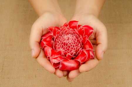 close up image: Close up image of Red torch ginger flower with hand Stock Photo