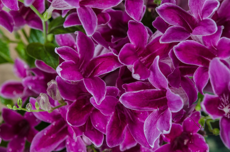 acanthaceae: Ganges Primrose, Ganges River asystacia, Chinese violet, Coromandel, Creeping foxglove, Baya, Yaya