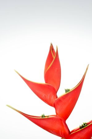 heliconia: Tropical heliconia flower (Heliconia stricta) on white background
