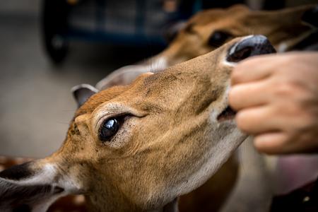 sika deer: Closeup image of female sika deer Stock Photo
