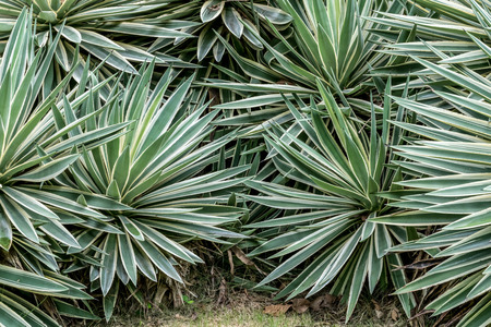 agave: Green agave leaves