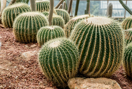 peyote: Cactus on small gravel Stock Photo