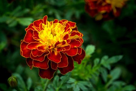 Rode en gele Merigold-bloem op groene bladerenachtergrond