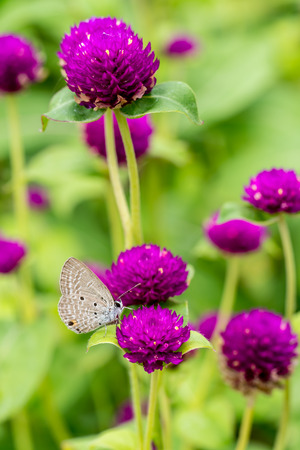Purple Globe Amaranth flowers with gray butterfly