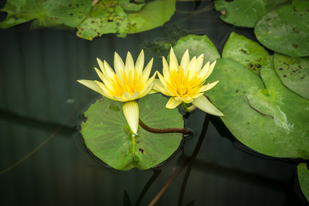 Ivory white lotus with green lotus leaves in pond Stock Photo