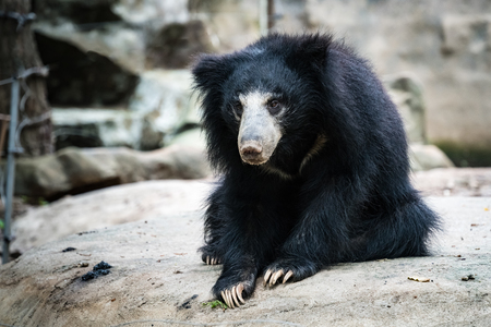 oso perezoso: Black bear sloth on the rock