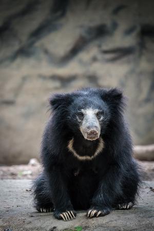 sloth: perezoso oso negro en la roca