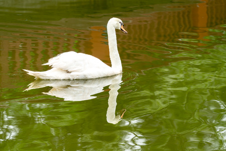 White swan in green lake with reflection in water