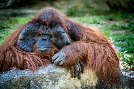 Closeup of Orangutan with green blur background Stock Photo