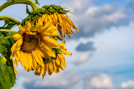 Withered yellow sunflower on cloudy background Stock Photo