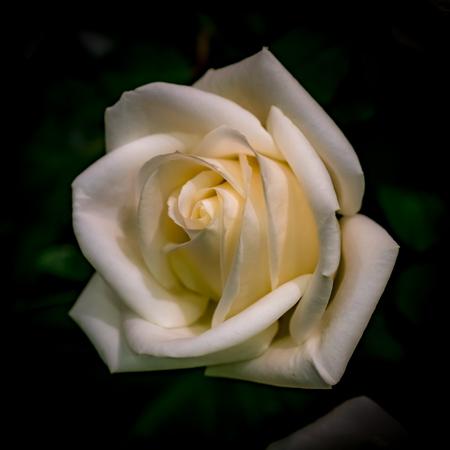 Rose blanche sur fond de feuilles vertes floues Banque d'images - 71750600
