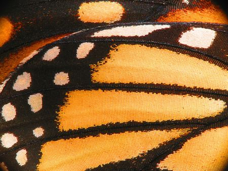 Butterfly Wing Ultra Macro Stock Photo - 7983662