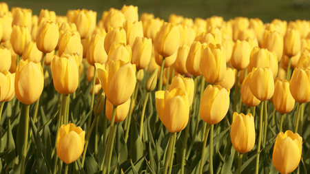 field depth: Bed of yellow tulips in full bloom using shallow depth of field