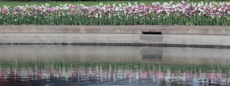 man made: A bed of tulips reflected in a man made pool