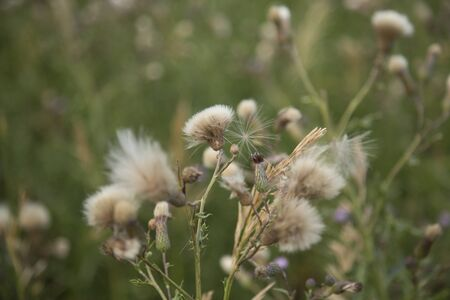 Wild thistle gone to seed