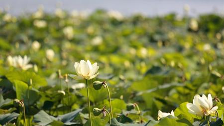 American Lotus at Wapello State Park, Iowa, shallow depth of field