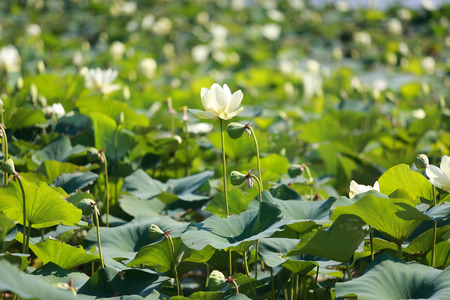 Creamy American Lotus flowers with green leaves