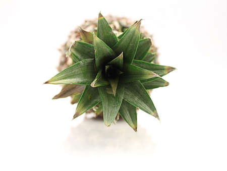 Ananas Top View