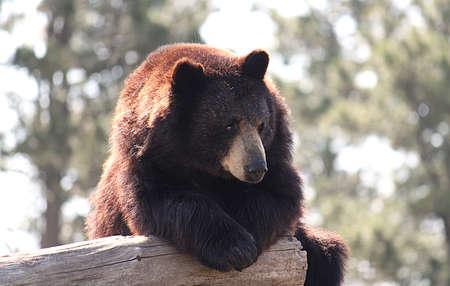 Bear Relaxing on Log Imagens