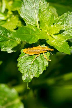 Elongated Bean Weevil  (Lixus Pulverulentus) Stock Photo