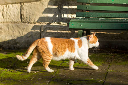 A ginger and white stray cat walking in a public garden in Malta 免版税图像