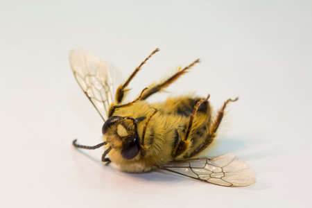 A dead Eastern cucurbit bee or Long horned bee (Peponapis pruinosa). Banque d'images