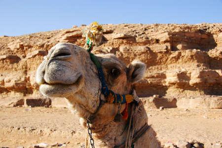 saddle camel: Smiling camel, Egypt