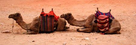 saddle camel: Two Camels
