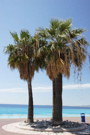 palmy: Palm trees in Nice, France   Stock Photo