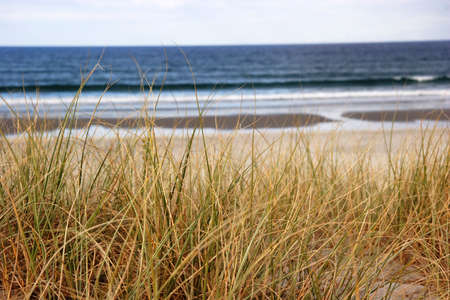 nz: Beach grass overlooking the ocean in NZ