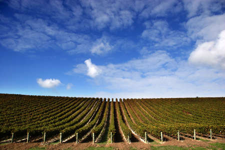 Vineyard with grape vines on fine day - Landscape Stock Photo