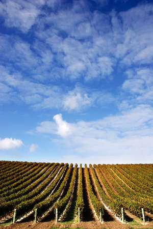 Vineyard with rows of grape vines on a fine day - portrait