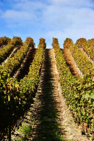 grape vines at vineyard on a clear day - portrait Stock Photo