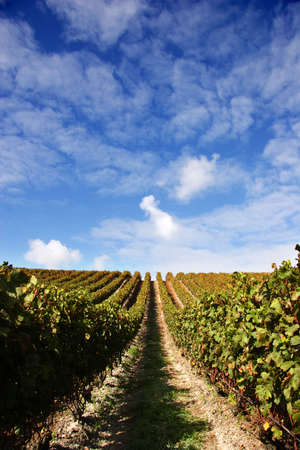 Grape vines and blue sky at a winery Stock Photo