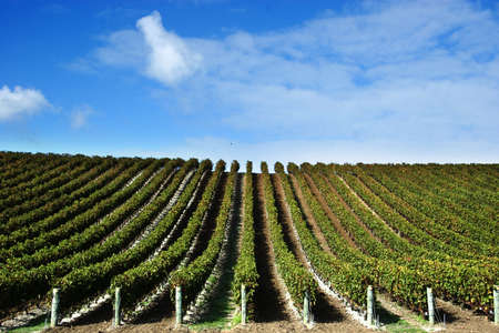 grape vines at winery with blue sky photo